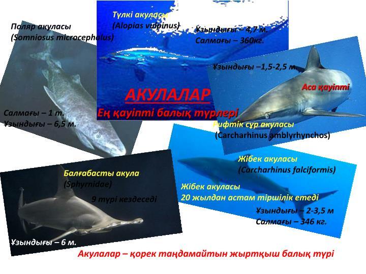Түлкі акуласы