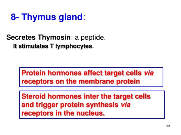 8- Thymus gland