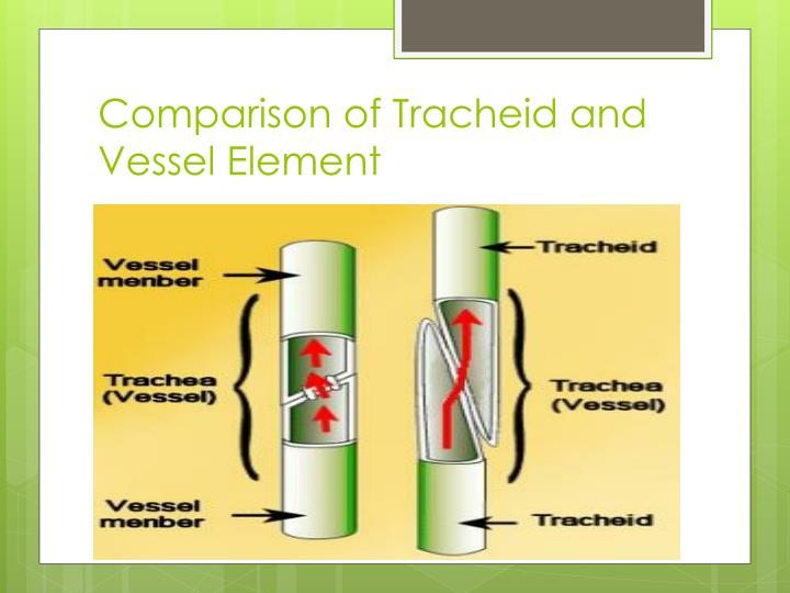 Comparison of Tracheid and Vessel Element