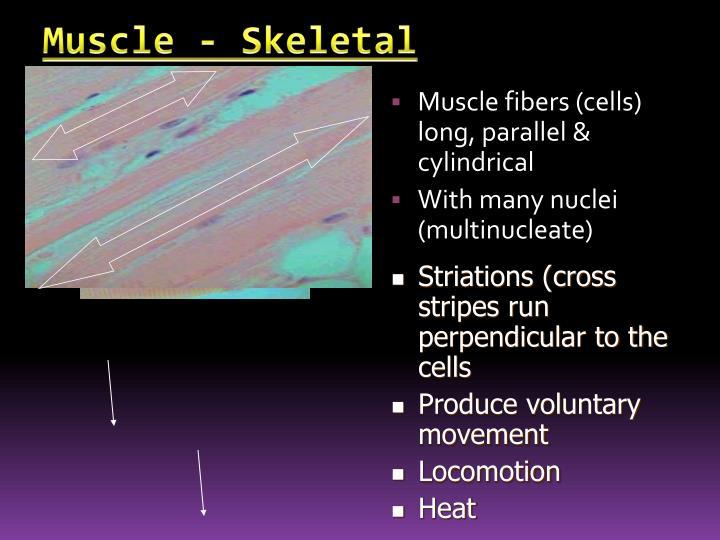 Muscle - Skeletal