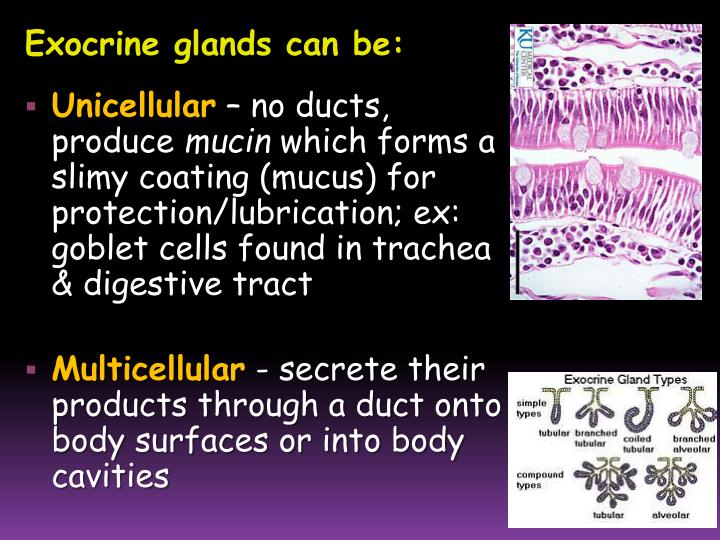 Exocrine glands can be: