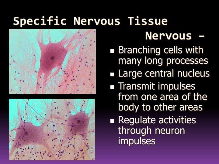 Specific Nervous Tissue Types Nervous – Neuron
