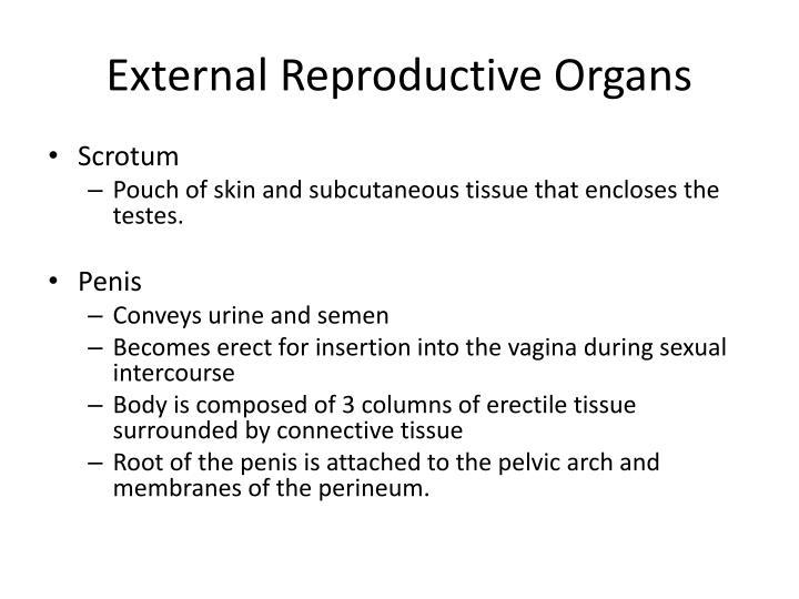 External Reproductive Organs