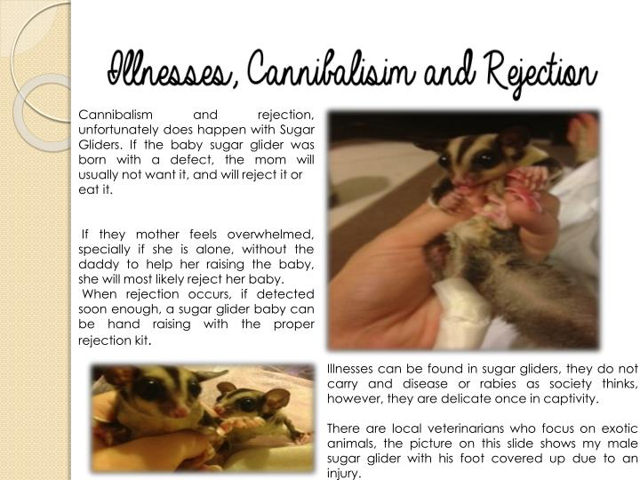 Cannibalism and rejection, unfortunately does happen with Sugar Gliders. If the baby sugar glider was born with a defect, the mom will usually not want it, and will reject it or