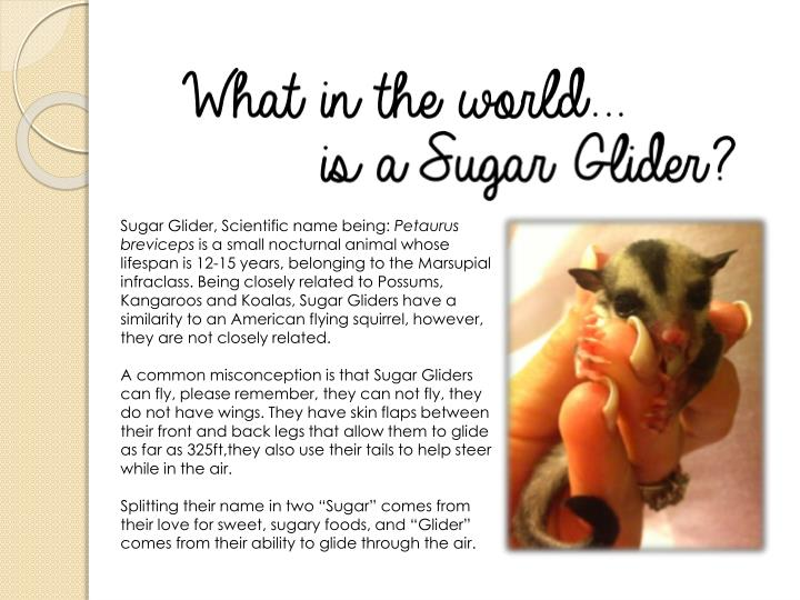 Sugar Glider, Scientific name being: