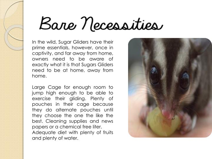 In the wild, Sugar Gliders have their prime essentials, however, once in captivity, and far away from home, owners need to be aware of exactly what it is that Sugars Gliders need to be at home, away from home.