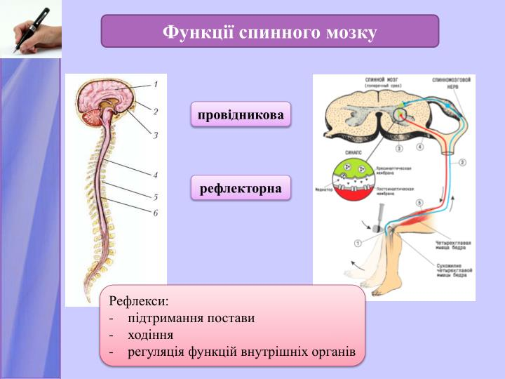 Функції спинного мозку