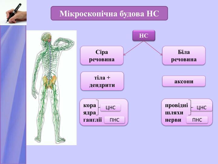 Мікроскопічна будова НС