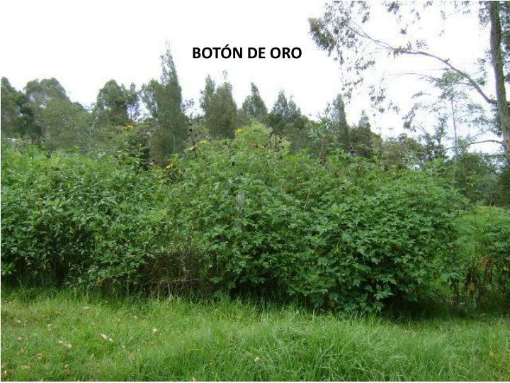 BOTÓN DE ORO