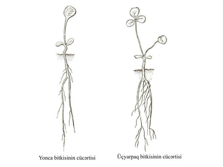Yonca bitkisinin cücərtisi