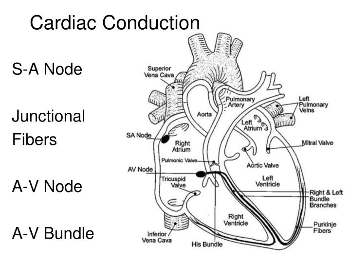 Cardiac Conduction