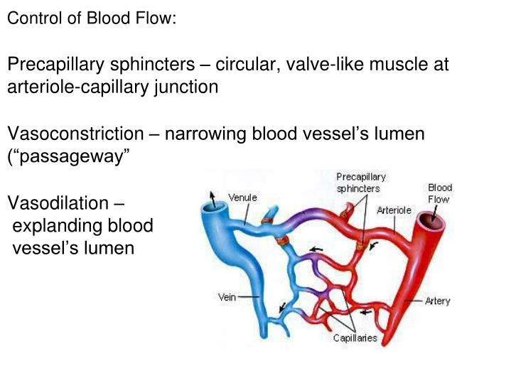 Control of Blood Flow: