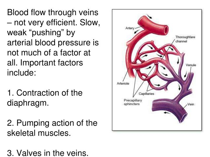 "Blood flow through veins – not very efficient. Slow, weak ""pushing"" by arterial blood pressure is not much of a factor at all. Important factors include:"