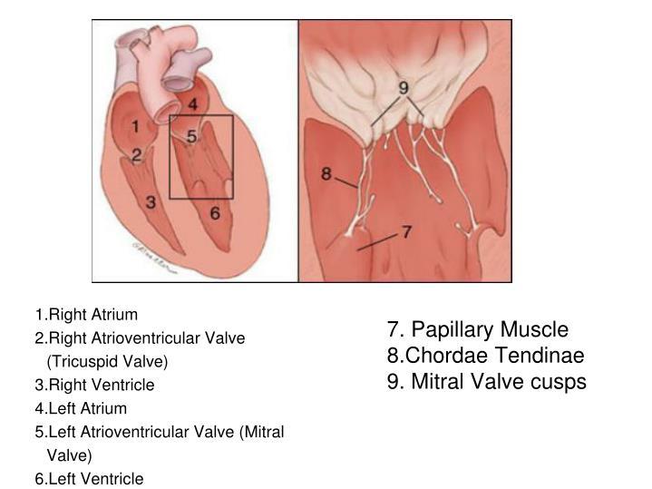 7. Papillary Muscle