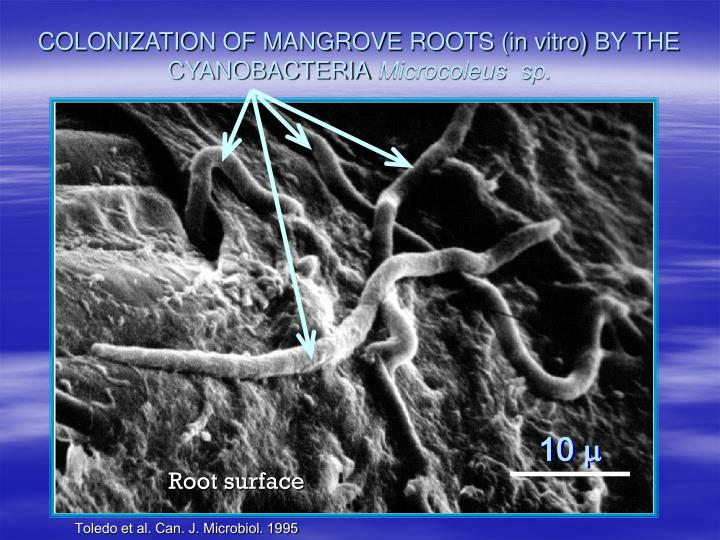 COLONIZATION OF MANGROVE ROOTS (in vitro) BY THE CYANOBACTERIA