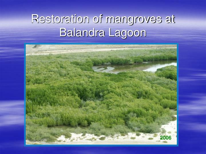 Restoration of mangroves at balandra lagoon