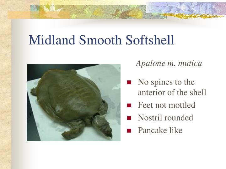 Midland Smooth Softshell