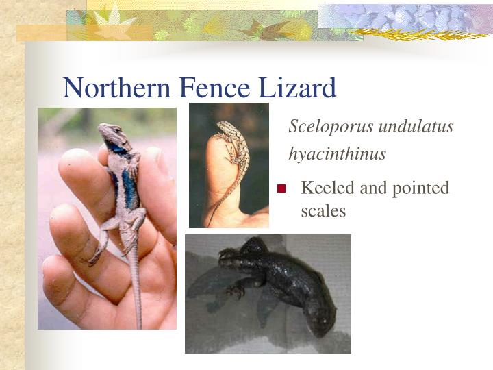 Northern Fence Lizard
