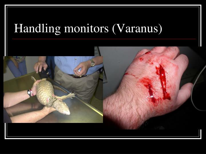 Handling monitors (Varanus)