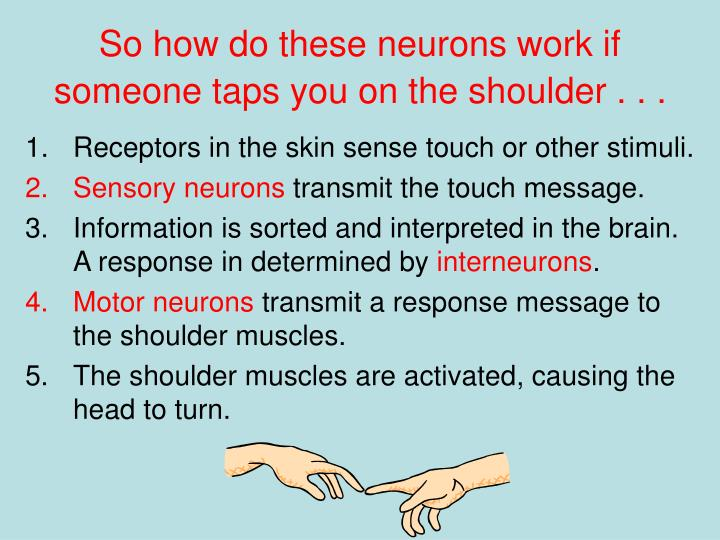 So how do these neurons work if someone taps you on the shoulder . . .