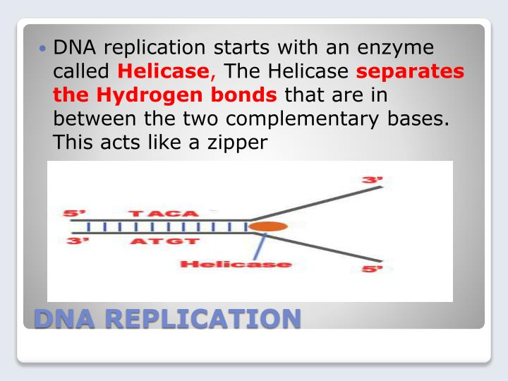 DNA replication starts with an enzyme called