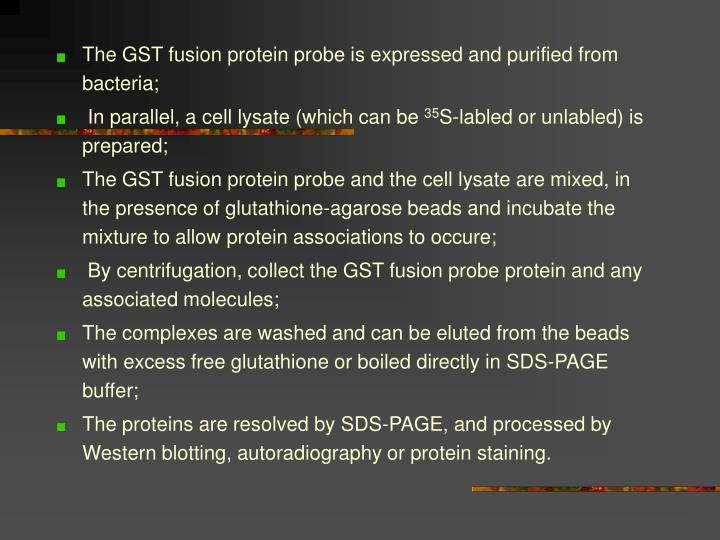 The GST fusion protein probe is expressed and purified from bacteria;