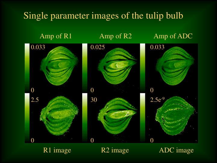Single parameter images of the tulip bulb
