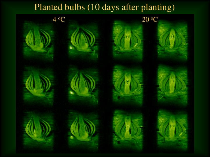 Planted bulbs (10 days after planting)