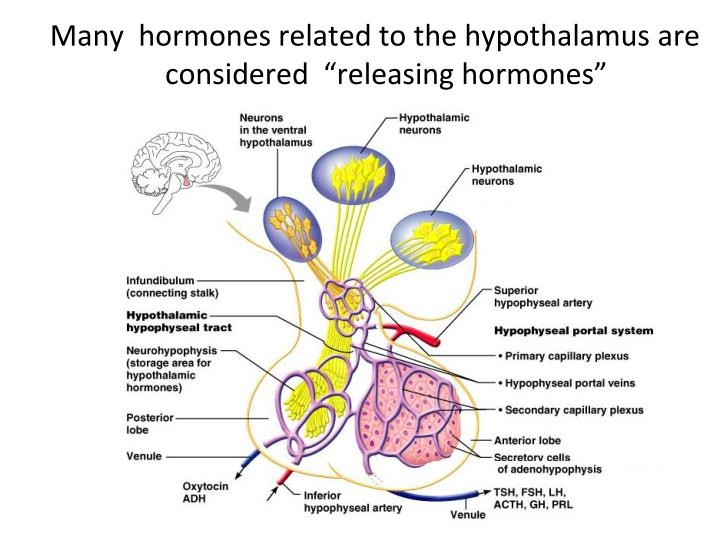"Many  hormones related to the hypothalamus are considered  ""releasing hormones"""