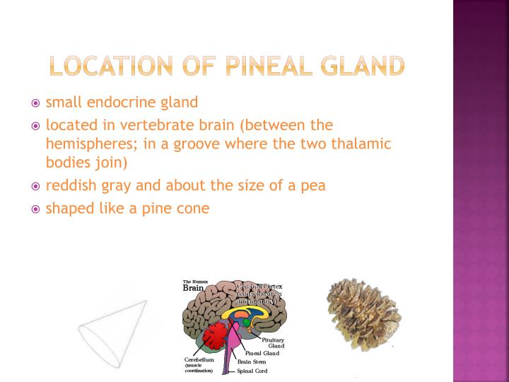 Location of Pineal Gland