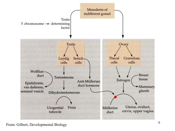From: Gilbert, Developmental Biology