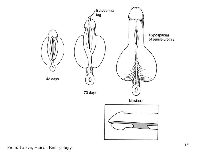 From: Larsen, Human Embryology