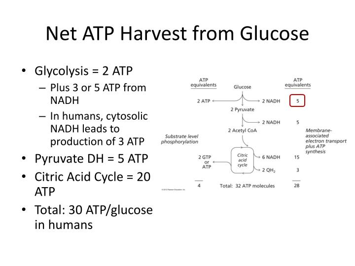 Net ATP Harvest from Glucose