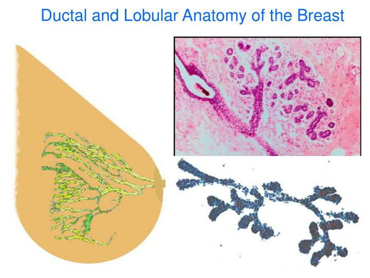 Ductal and Lobular Anatomy of the Breast