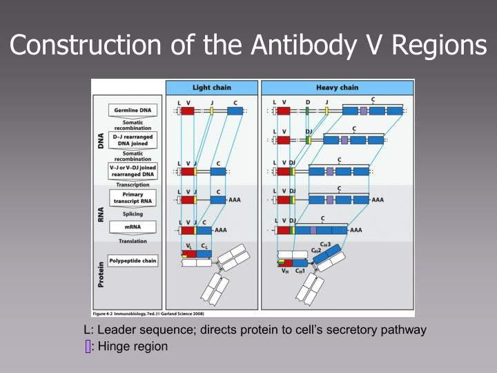 Construction of the Antibody V Regions
