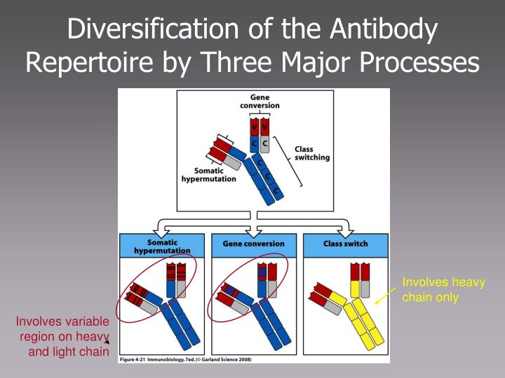 Diversification of the Antibody Repertoire by Three Major Processes