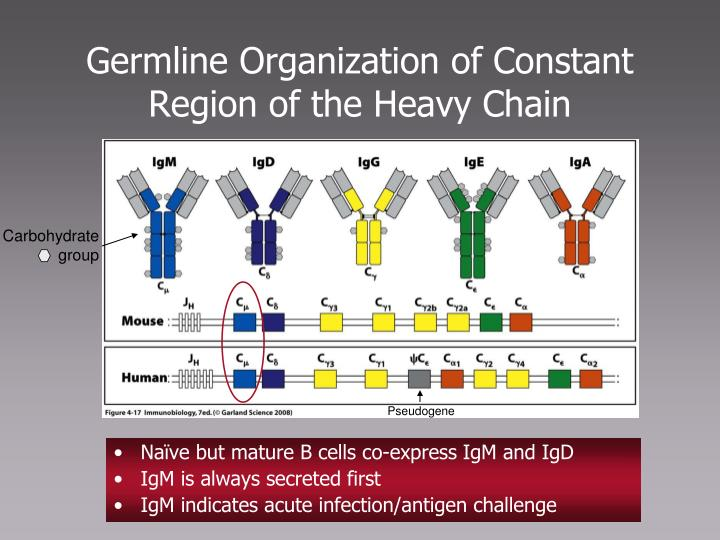 Germline Organization of Constant Region of the Heavy Chain