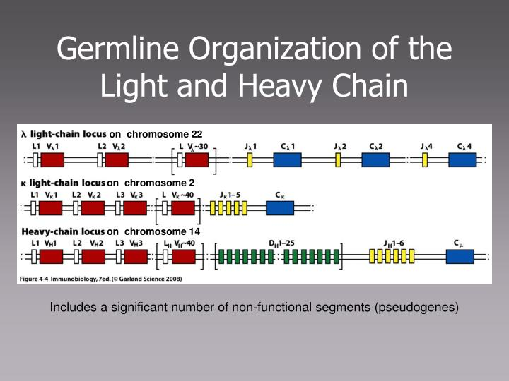 Germline Organization of the Light and Heavy Chain