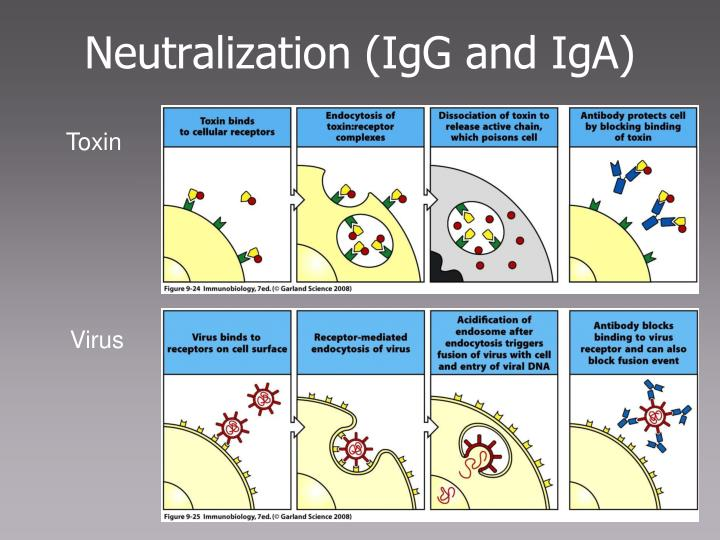 Neutralization (IgG and IgA)