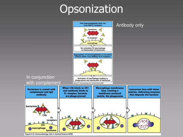 Opsonization