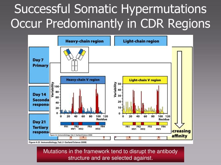 Successful Somatic Hypermutations Occur Predominantly in CDR Regions