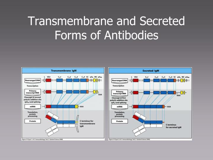 Transmembrane and Secreted Forms of Antibodies