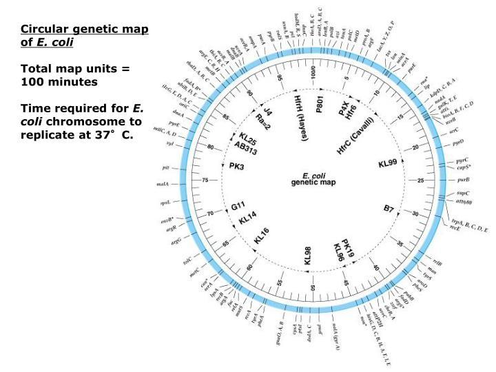 Circular genetic map of