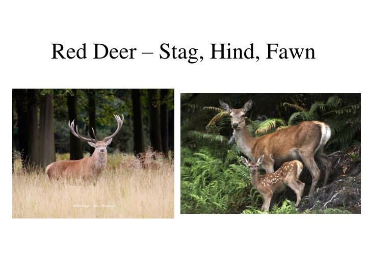Red Deer – Stag, Hind, Fawn