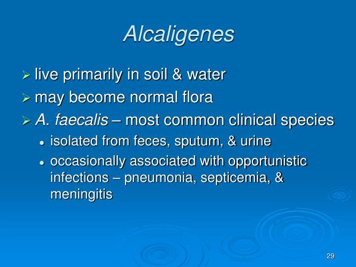 Alcaligenes