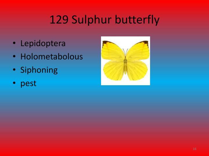 129 Sulphur butterfly