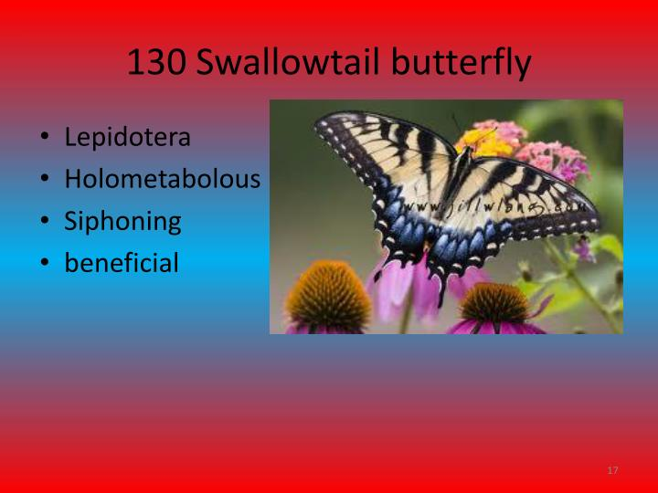 130 Swallowtail butterfly