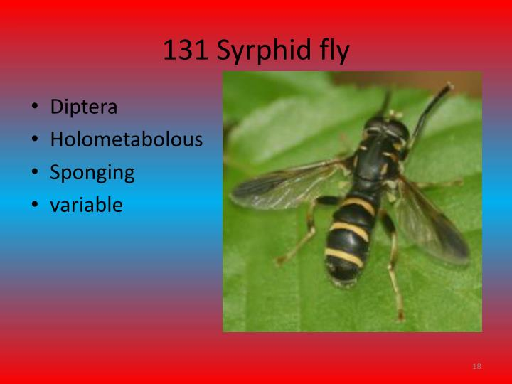 131 Syrphid fly