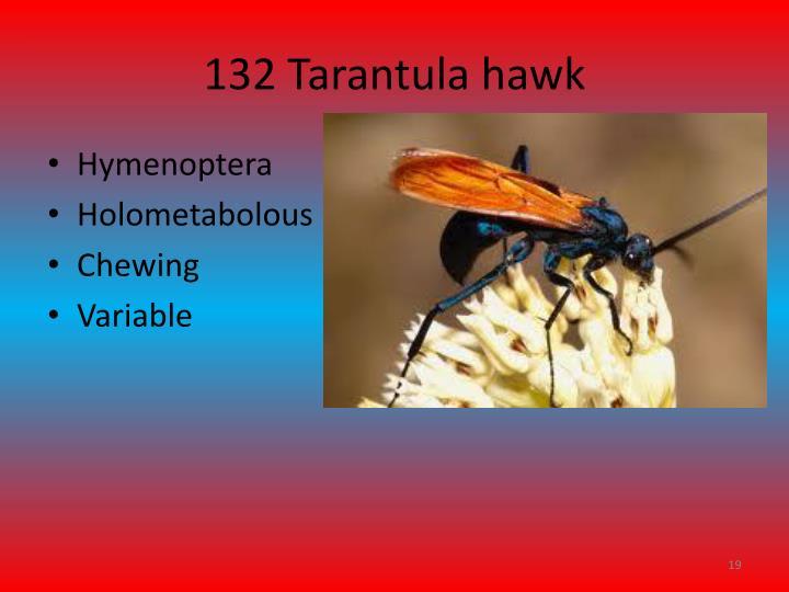 132 Tarantula hawk