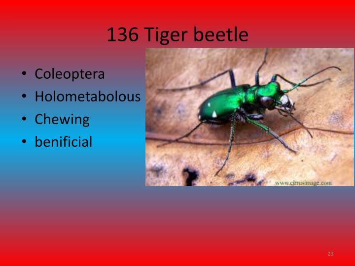 136 Tiger beetle